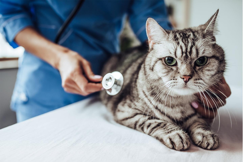 Kočka na vyšetření u veterináře