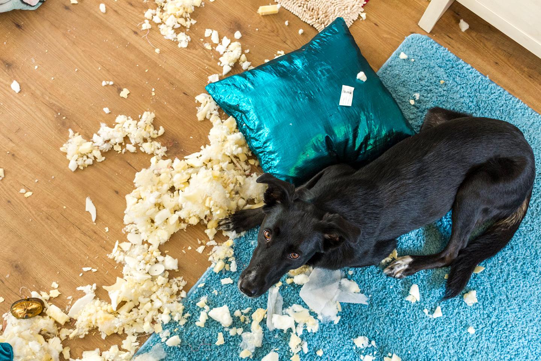 Pejsek doma roztrhal polštář