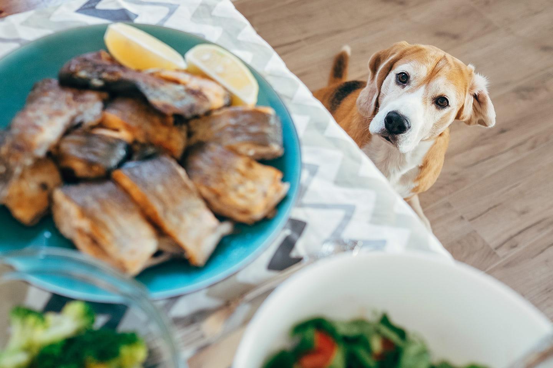 Pejsek kouká na smaženou rybu na stole